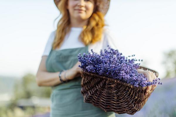 Korb Lavendel sammeln Feld